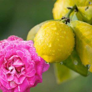 arome rose et citron